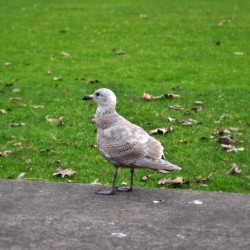 Pigeon? No, don't know what bird