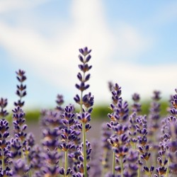 Lavender with the blue sky