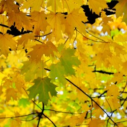 The yellowish leaves...