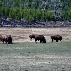Not much wildlifes I can see, the most common are these: Bisons